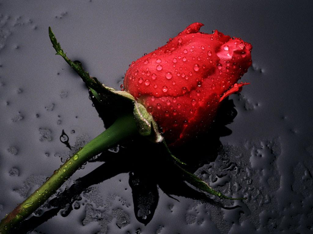 Une rose (c)https://jardin-blog.com